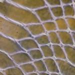 155 Mauve Glazed Croc